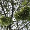 Elm Seeds - Paul Glazier